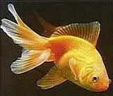 Goldfisch aus Wikipedia