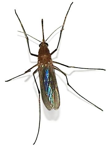 Bild einer Schnake bzw. Stechmücke, entnommen aus de.wikipedia.org